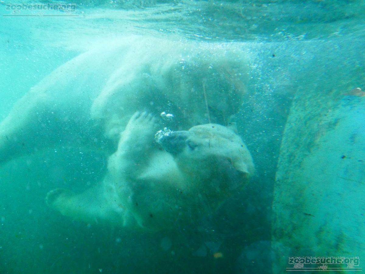 Eisbären_Milana_und_Sprinter__(32)