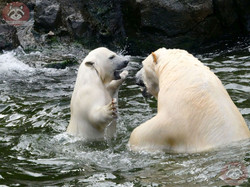 Eisbären_Nana_und_Milana_(8)
