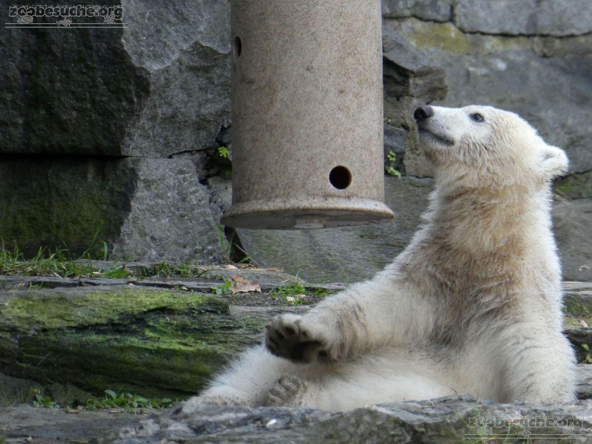 Eisbär  (31)