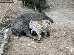 Wildschweine  (7)