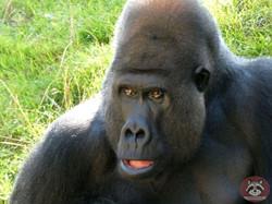 Gorilla Buzandi (5)