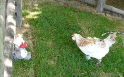 Wuschel mit Huhn