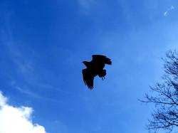 Greifvogel  (9)
