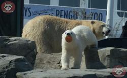 Eisbären_Milana_und_Nana_(19)
