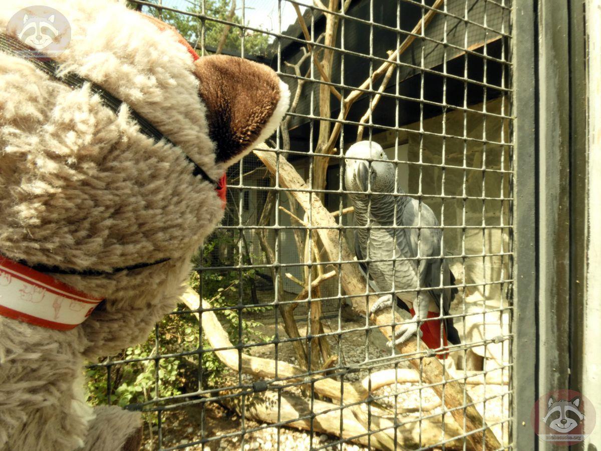 Graupapagai mit Wuschel (2)