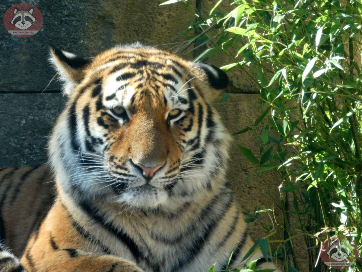 Tiger (4)