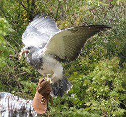 Greifvogel Blau  (1)