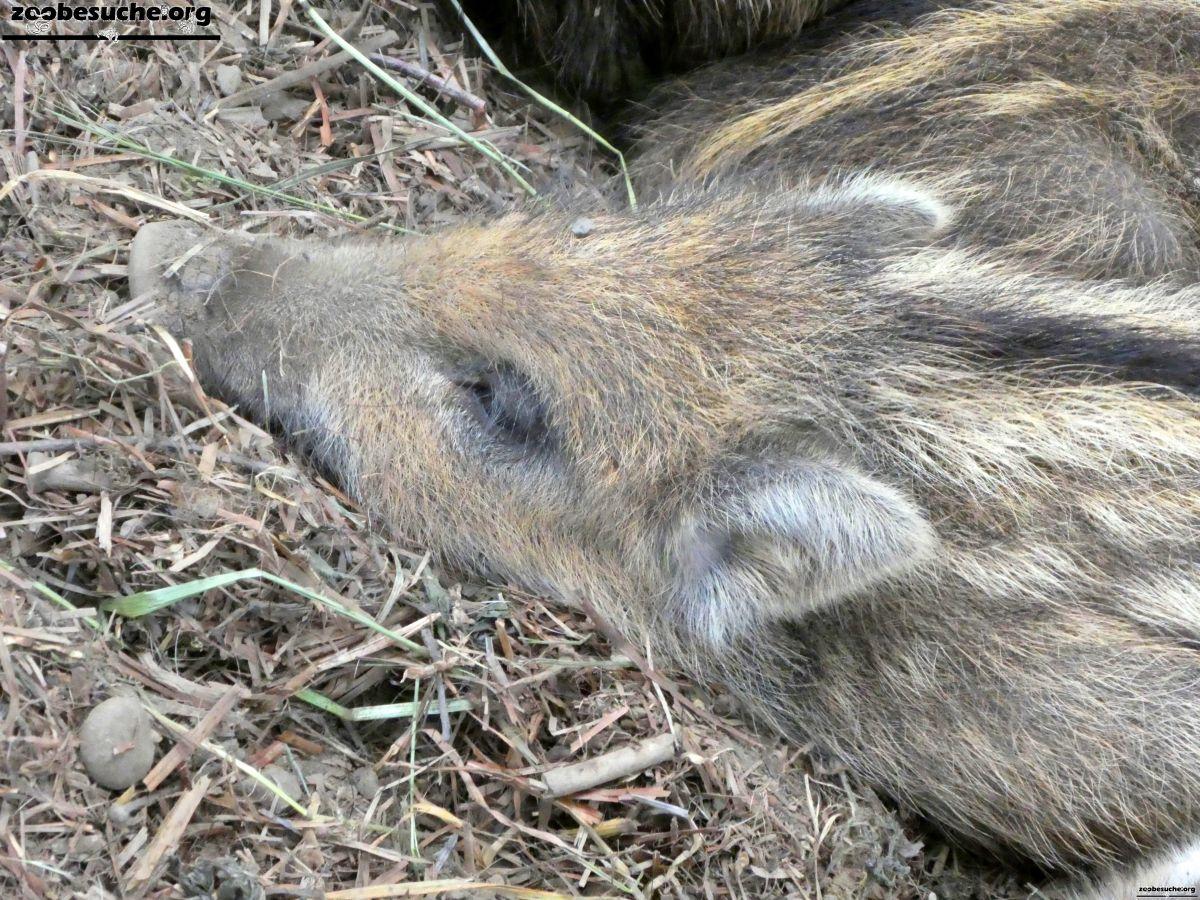 Wildschweine  (6)