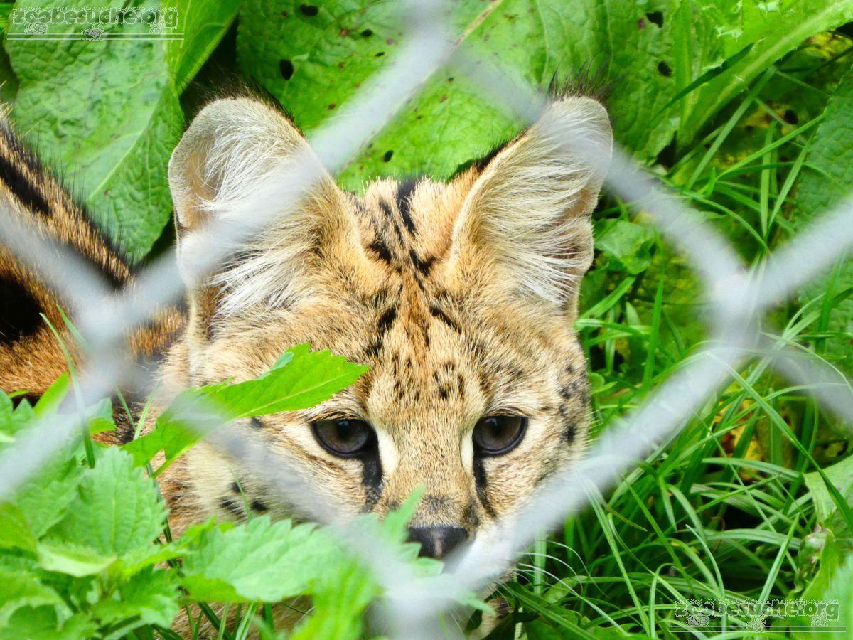 Serval  (2)