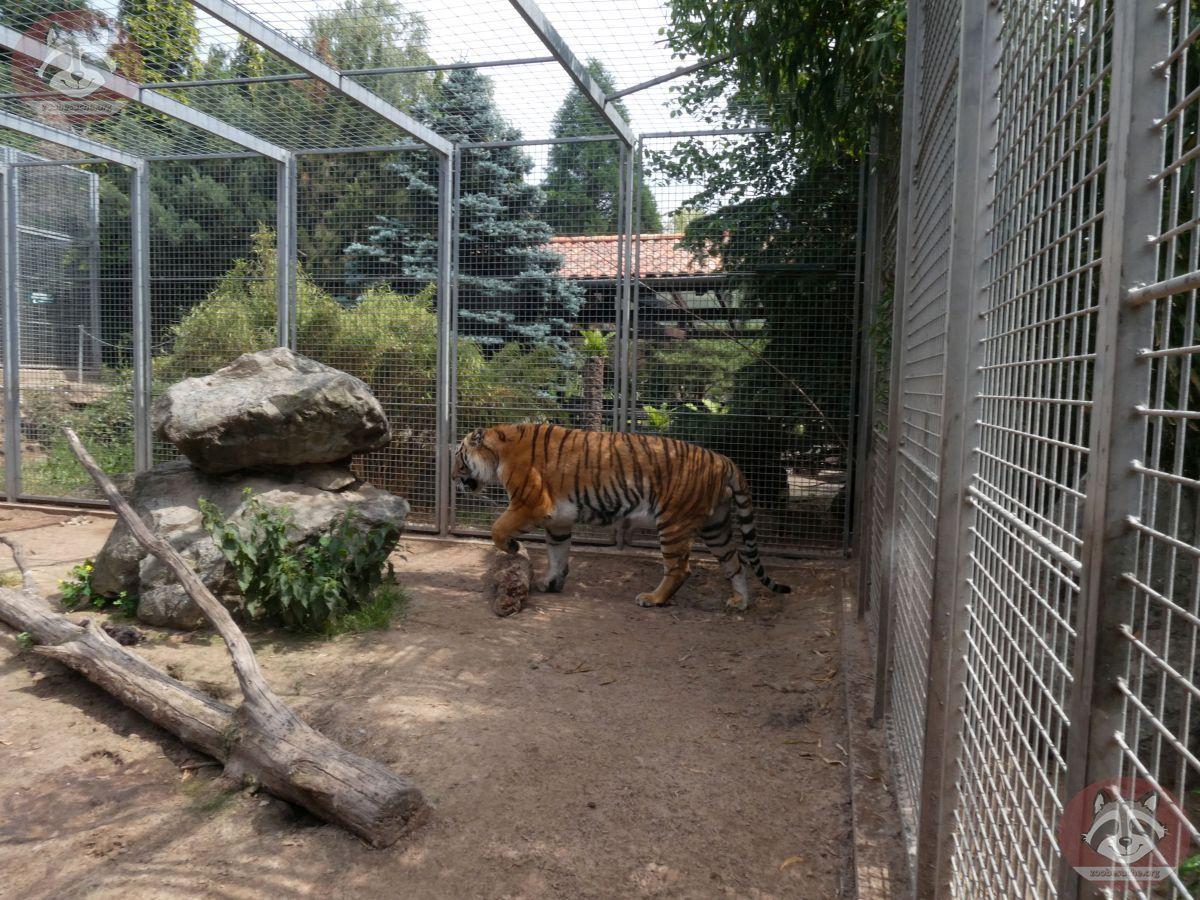 Tiger Diego (3)