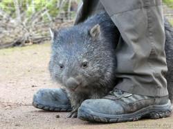 Tasmanischer Nacktnasenwombat Maya  (6).