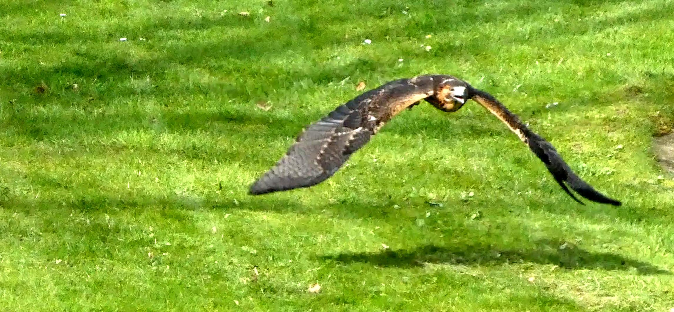 Falke  (4)