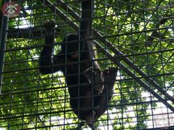 Bonobo  (7)
