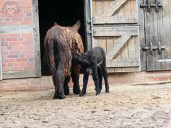 Poitou-Esel mit Jungtier