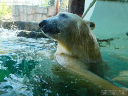 Eisbären_Milana_und_Sprinter__(19)