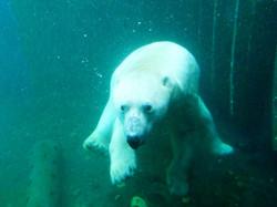 Eisbär  (4)