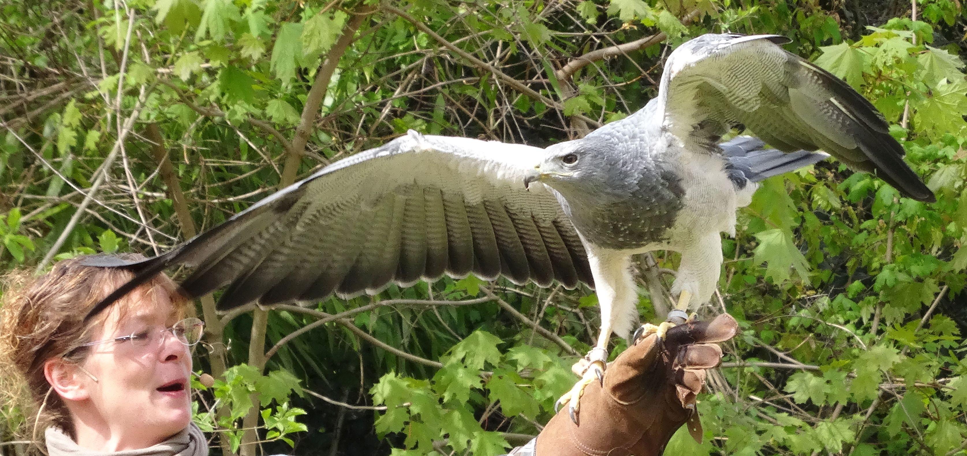 Greifvogel Blau  (4)