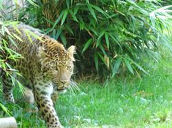 Leopard  (10)