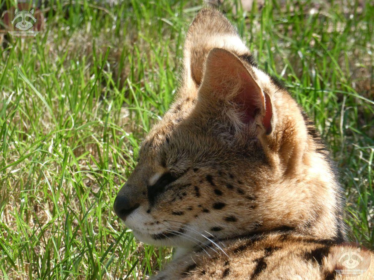 Serval (1)