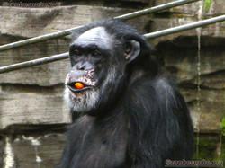 Schimpansen  (11)