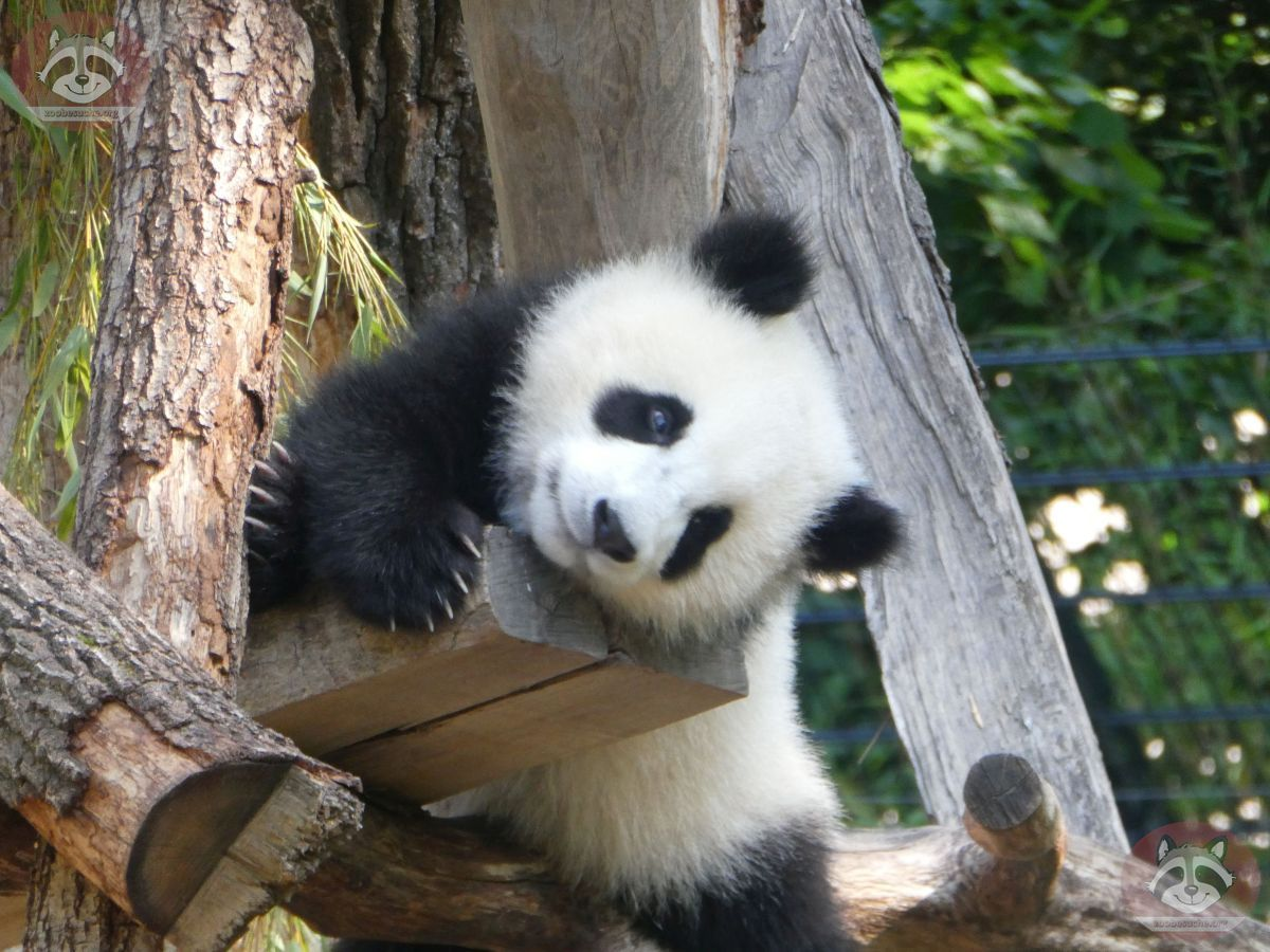 Panda Jungtier  (18)