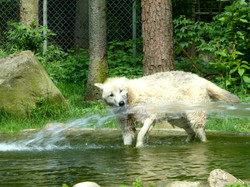 Wolf  (7)