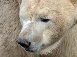 Eisbär (9)