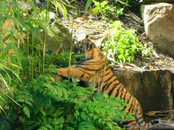 Tiger (43)