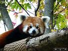 Roter Panda  (7).jpg