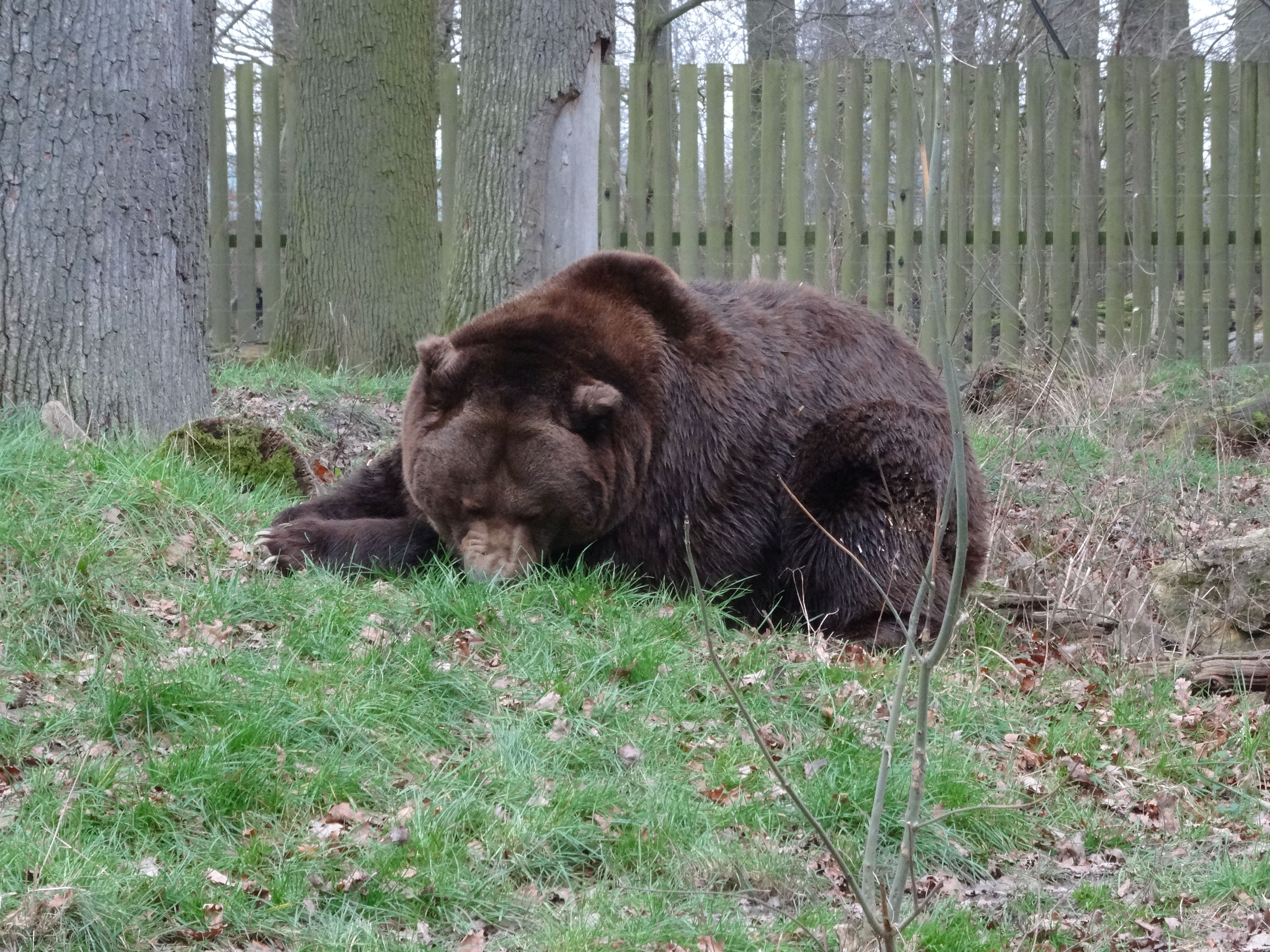 Braunbär  (4)