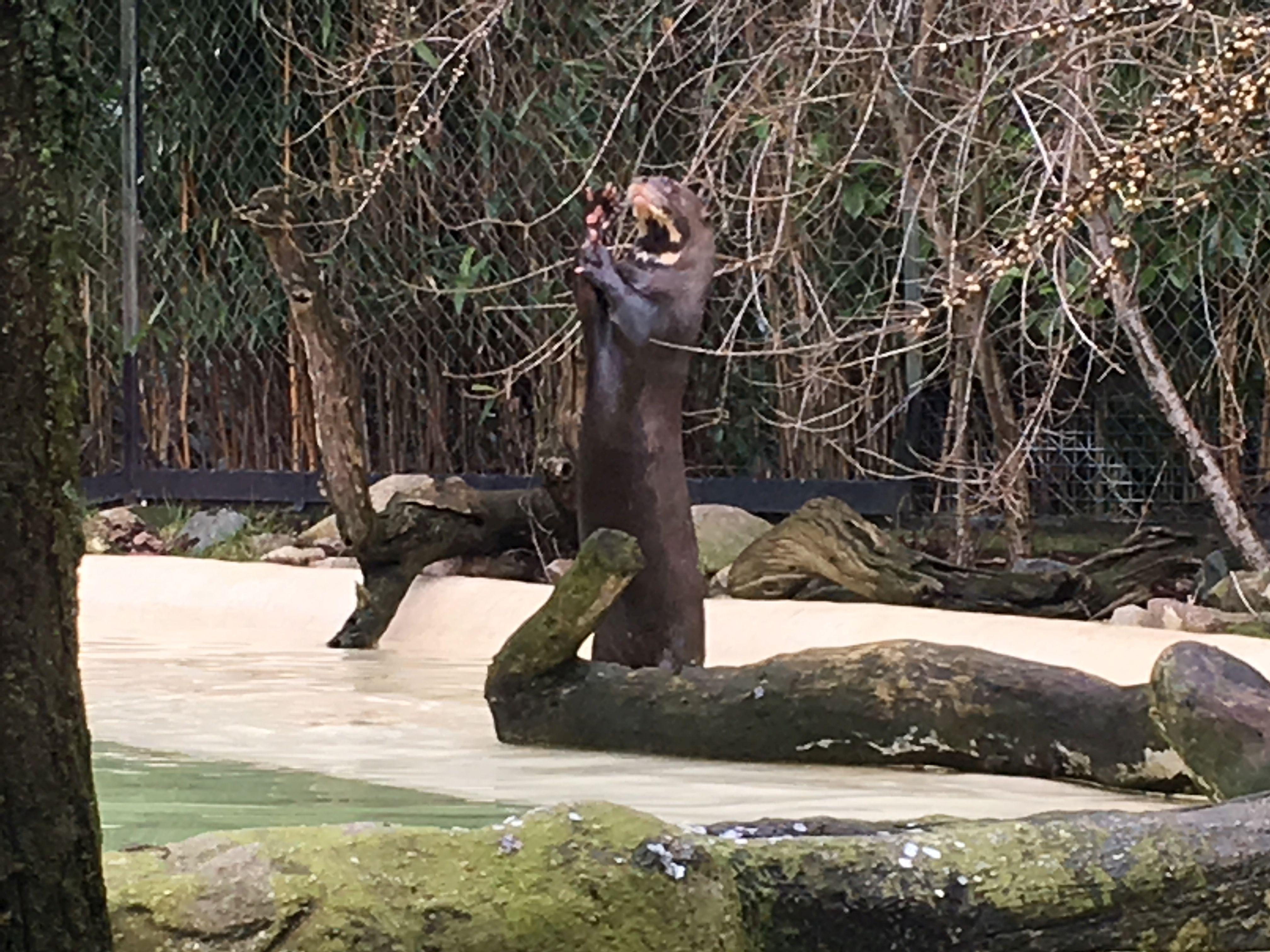 Riesenotter (2)