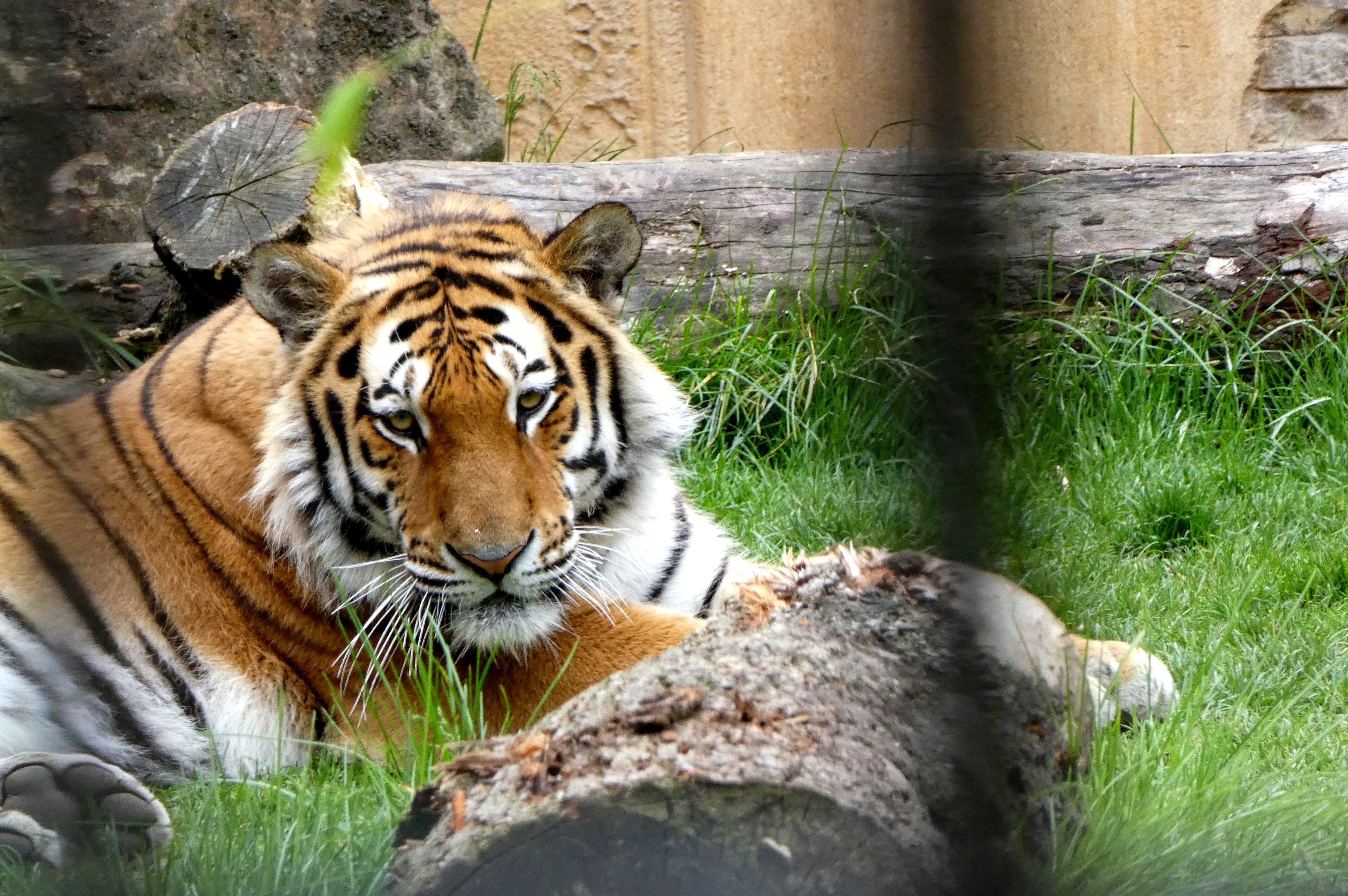 Tiger Aljosha  (5)
