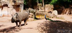 Nashorn mit Pfau  (3)