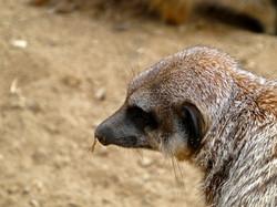 Erdmännchen  (3)