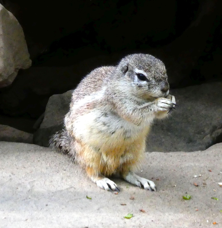 Kap-Borstenhörnchen  (3)