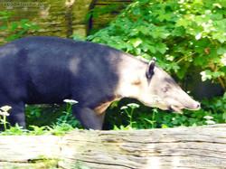 Mittelamerikanischer Tapir  (14)