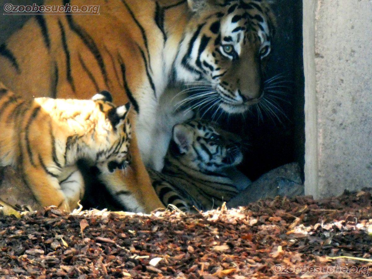 Tiger (26)