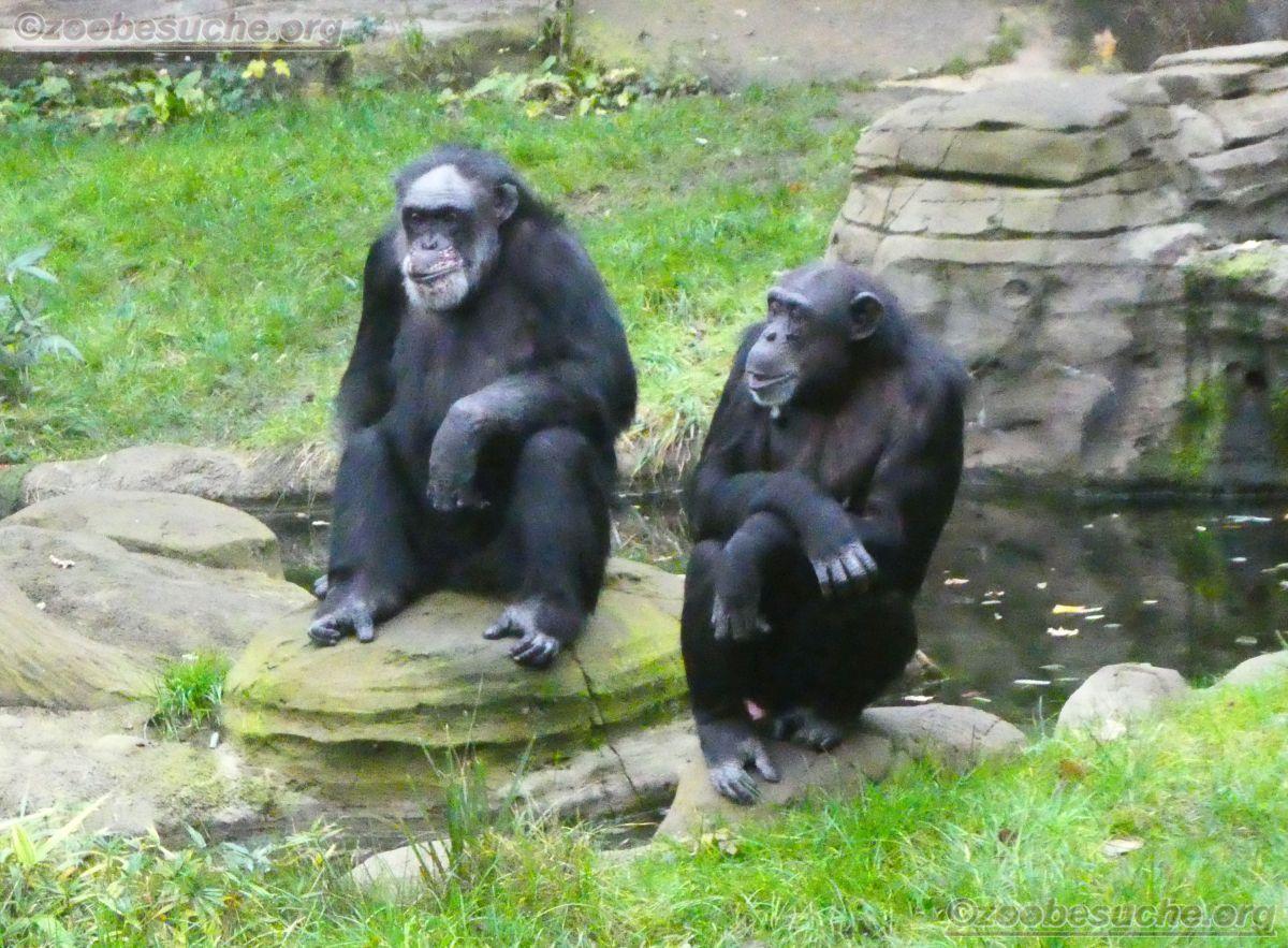 Schimpansen  (24)