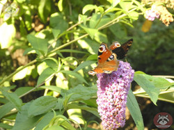 Schmetterling (4)