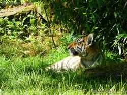 Tiger Jungtier (16)
