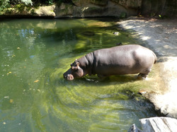 Flusspferd  (14)