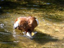 Flusspferd  (6)