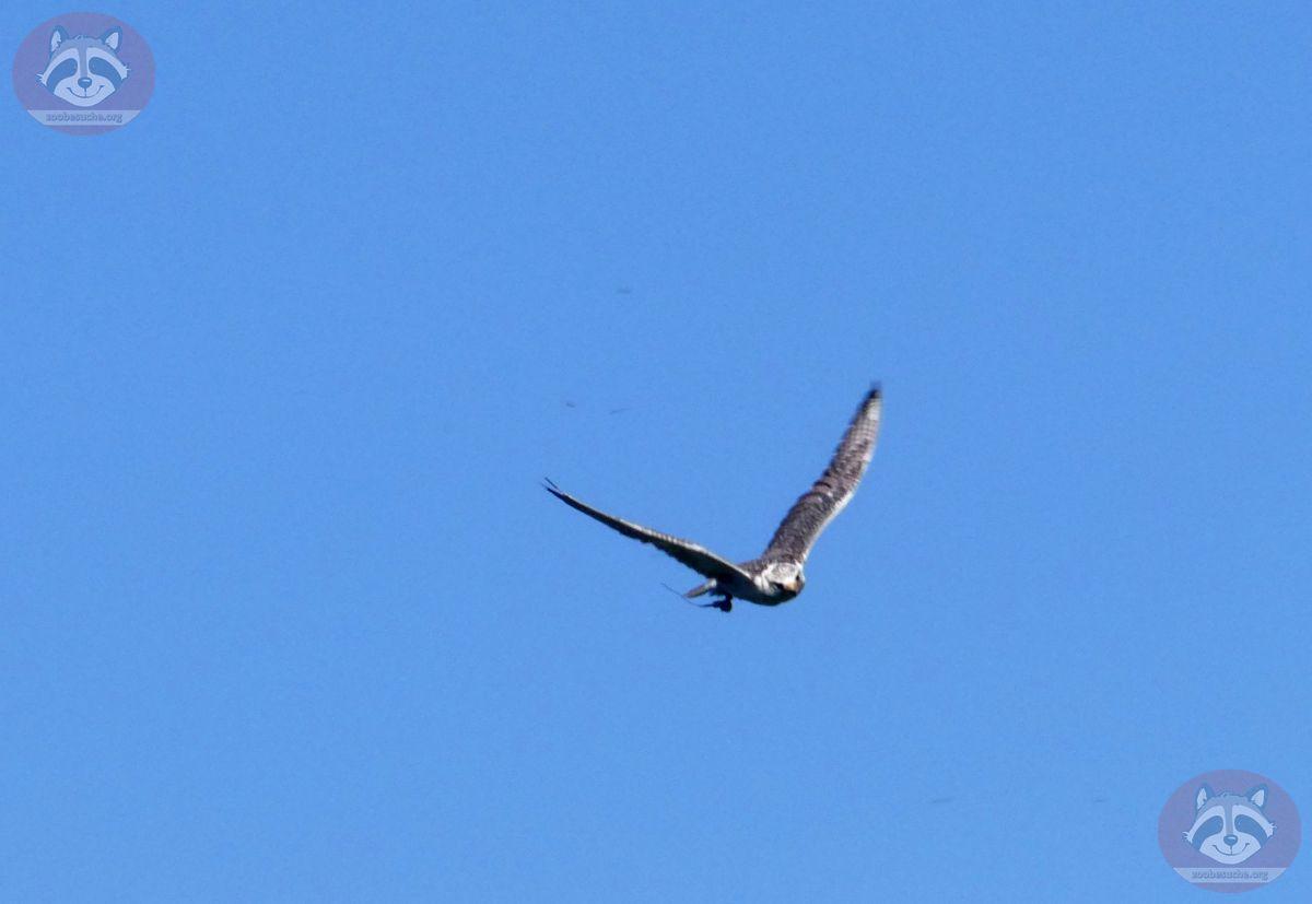 Graifvogel (3)