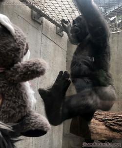Wuschel mit Gorilla  (2)