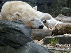 Eisbär  (81)