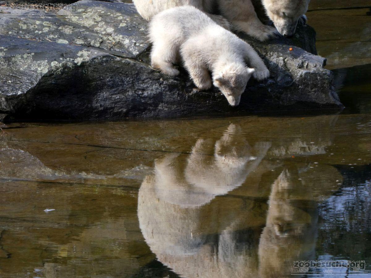Eisbär  (102)