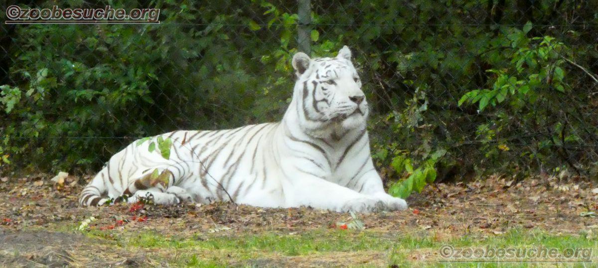 Weißer Tiger  (2)