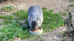 Nacktnasenwombat  (10)