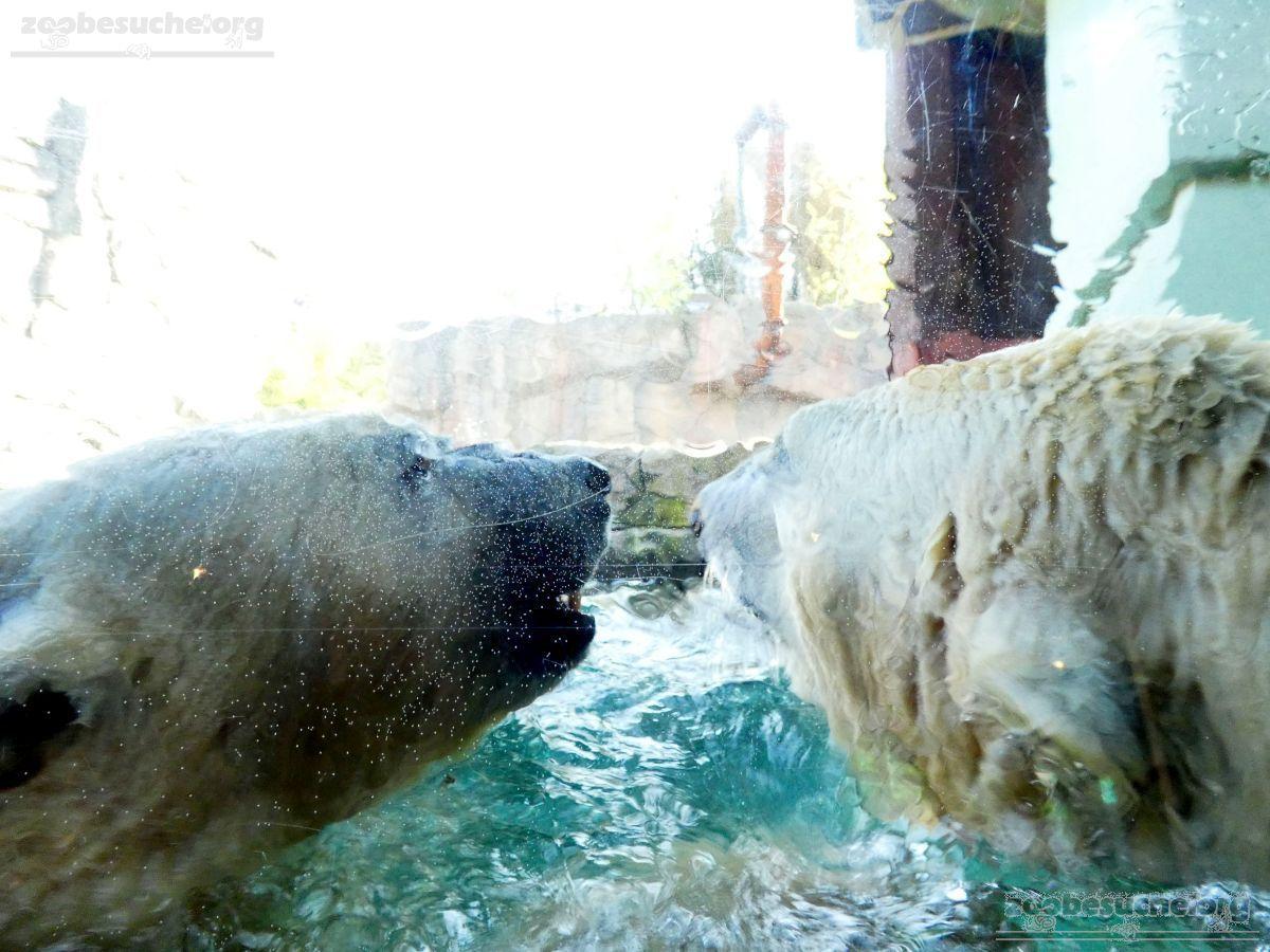 Eisbären_Milana_und_Sprinter__(15)