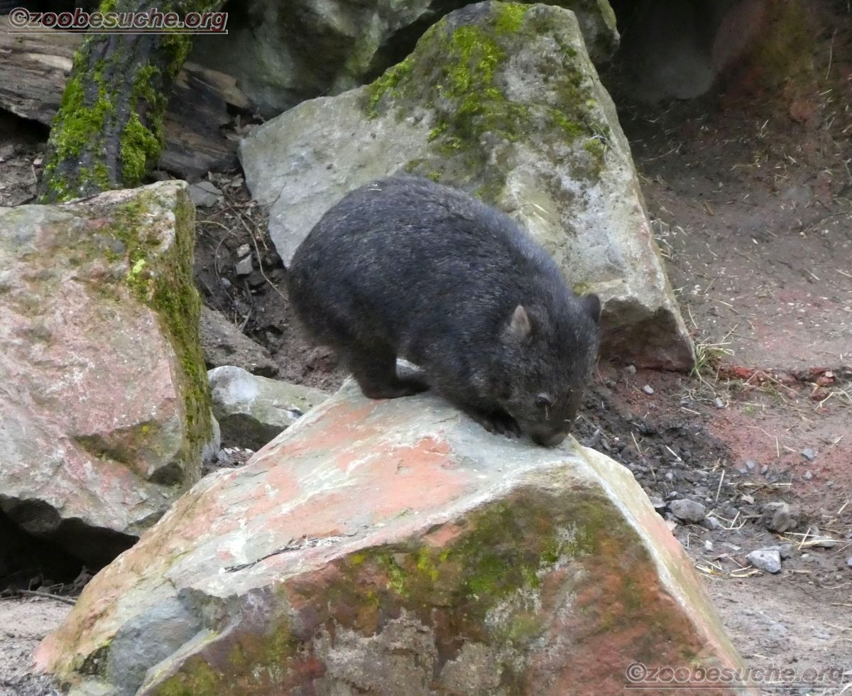Wombat Maja  (10)